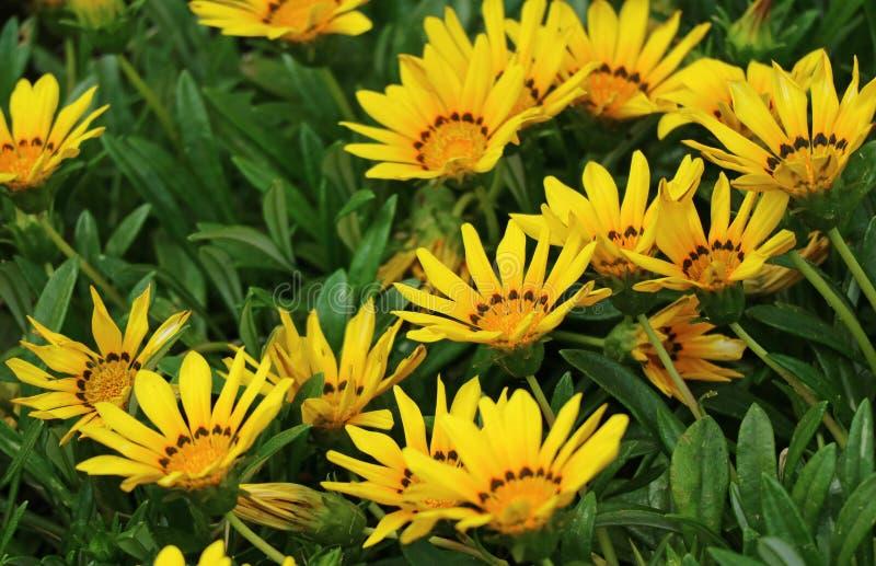 Grupp av livliga gula blommande blommor, Cusco region, Peru, Sydamerika arkivfoton