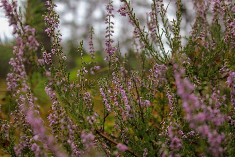 Grupp av ljungblomman Blommande ljungblomma Pastellfärgat hälsningkort i tappningstil arkivbild