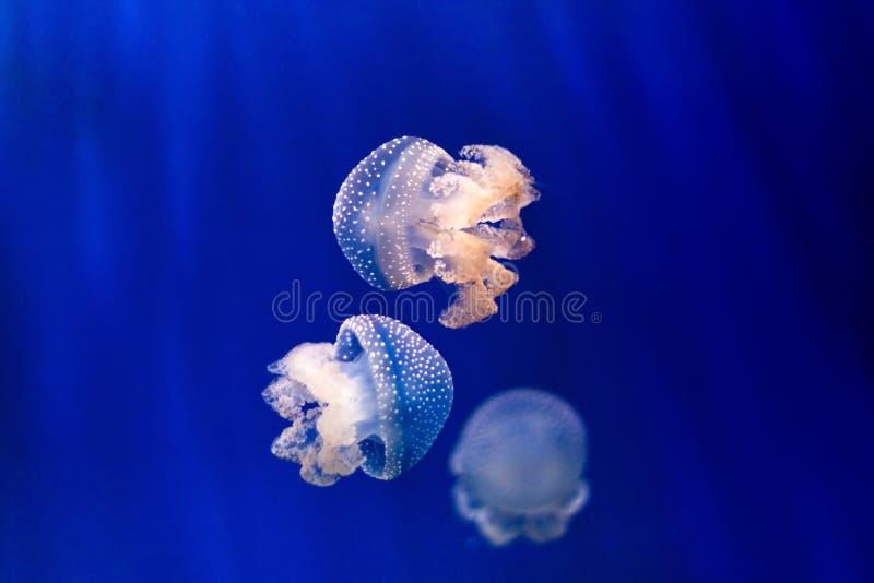 Grupp av ljus - blå manet på blå bakgrund royaltyfri bild