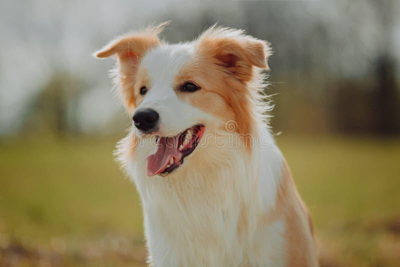 Grupp av lyckliga hundkapplöpninggränscollier på gräset i sommar royaltyfria bilder