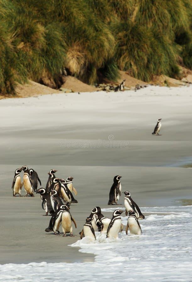 Grupp av Magellanic pingvin på en sandig strand fotografering för bildbyråer