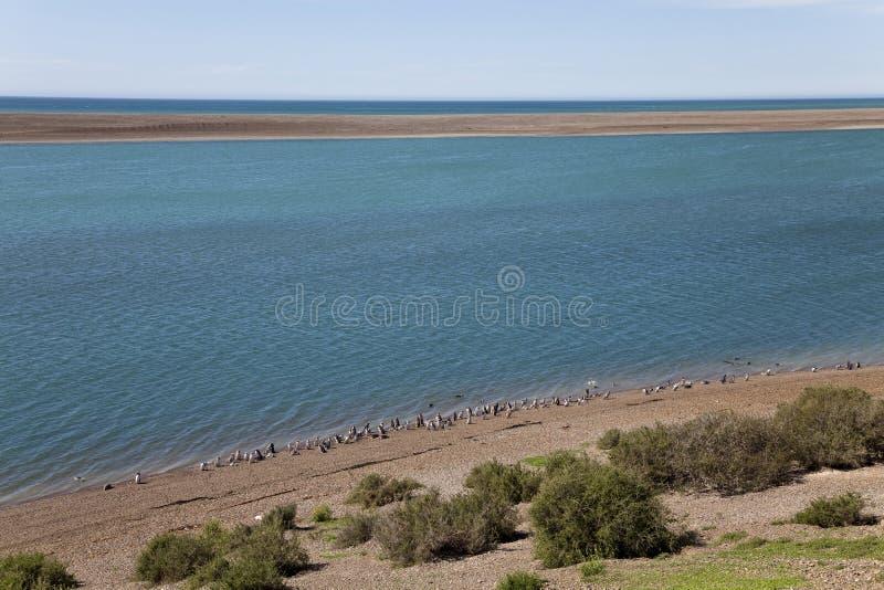Grupp av magellanic pingvin på en strand (H) fotografering för bildbyråer