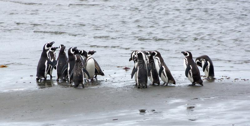 Grupp av Magellanic pingvin på kusten av havet i Patagonia, Chile arkivbild