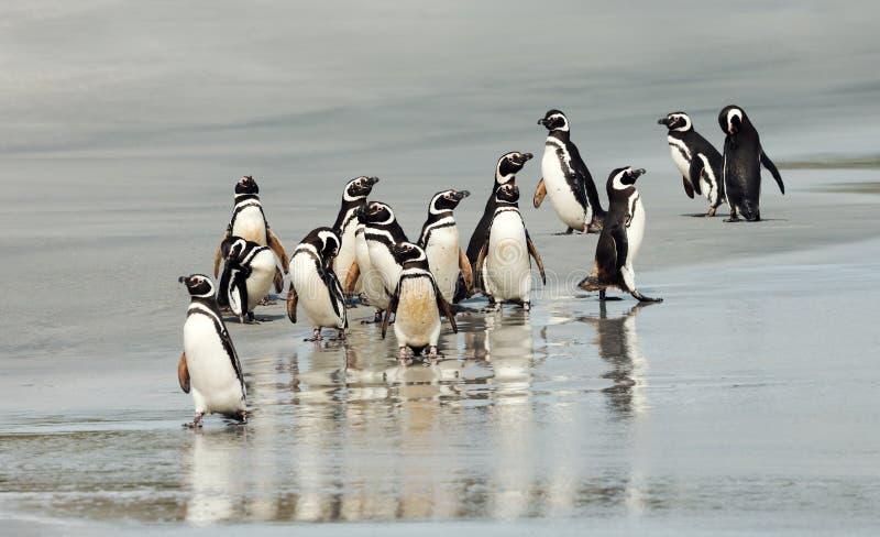 Grupp av Magellanic pingvin på kusten av havet royaltyfri fotografi