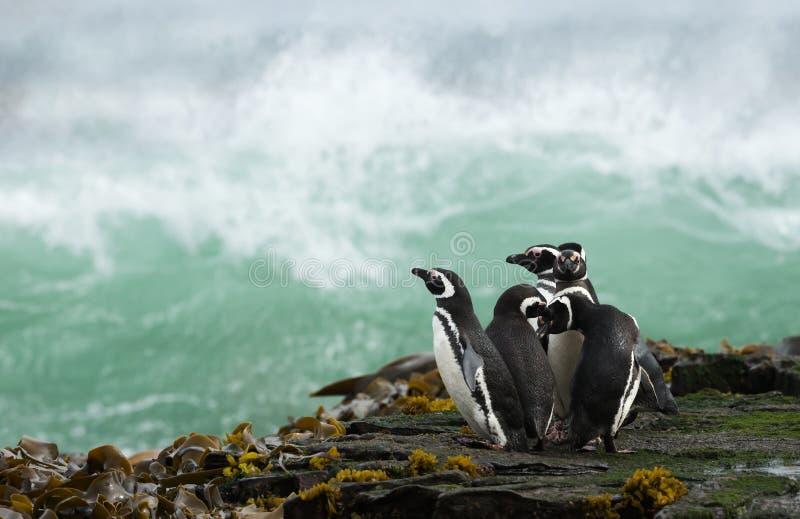 Grupp av Magellanic pingvin som står på en kust och ett hållande ögonen på stormigt hav fotografering för bildbyråer