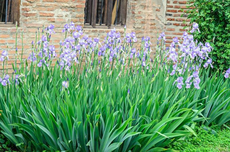 Grupp av malvafärgade violetta irisblommor, grön stamträdgård, slut upp arkivbild