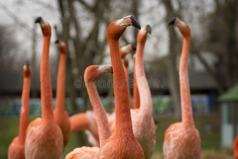 Grupp av manliga karibiska flamingo under kurtiets arkivfoton