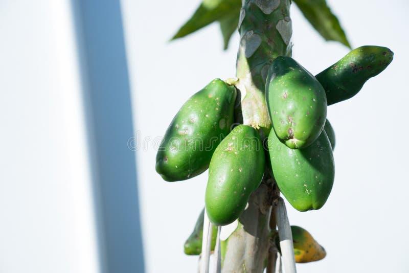 Grupp av mogna gröna papayas på träd arkivfoton