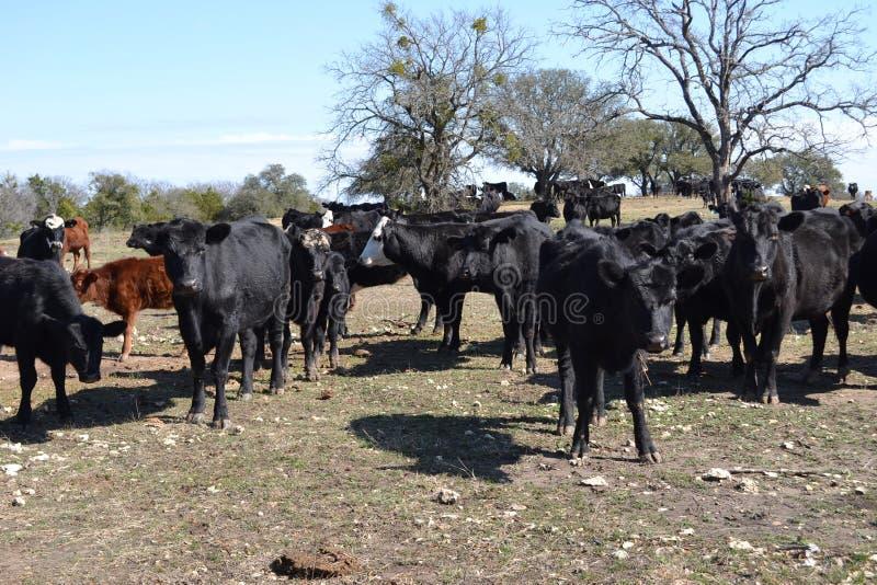 Grupp av nötköttkor arkivfoton