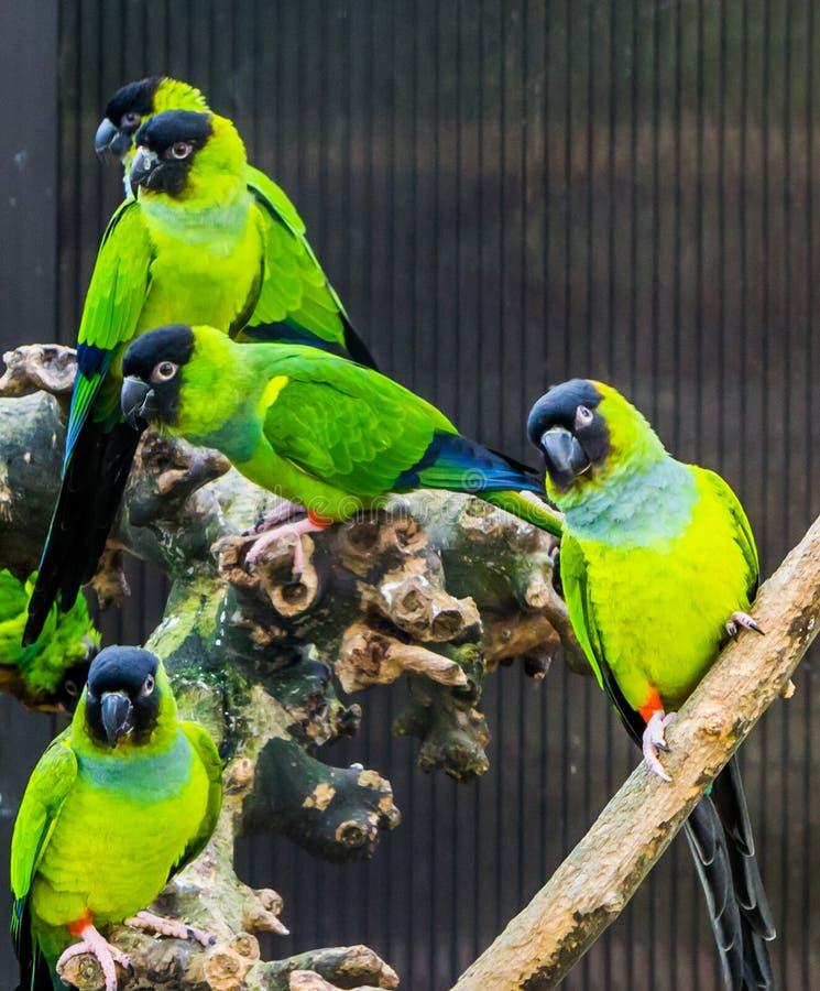 Grupp av Nanday parakiter tillsammans i aviariet, populära husdjur från Amerika, tropiska och färgrika små papegojor arkivbild