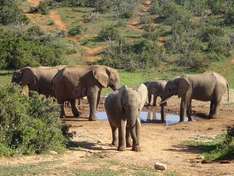 Grupp av nationalparken för elefantAddo elefant av Sydafrika arkivfoton