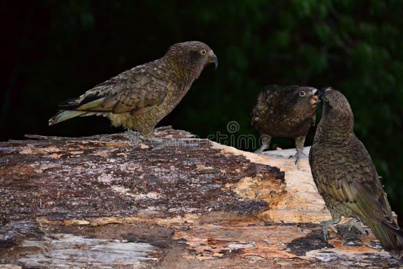 Grupp av Nestor Kea papegojor, bergpapegoja, endemisk, sällsynt som är nyazeeländsk royaltyfria foton