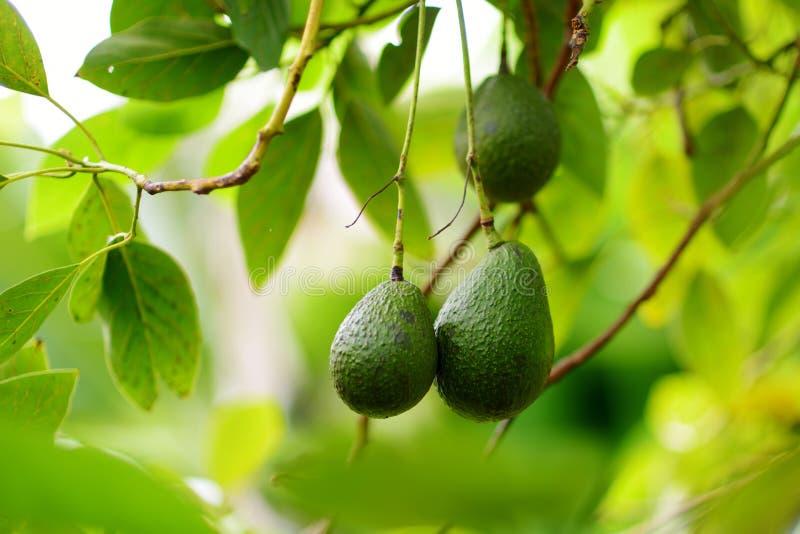 Grupp av nya avokadon som mognar på en avokadoträdfilial fotografering för bildbyråer