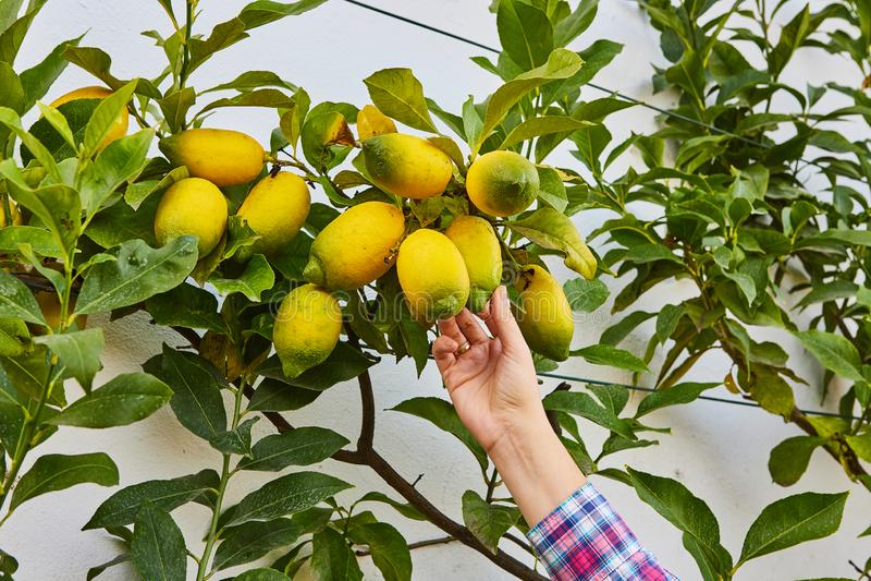 Grupp av nya mogna citroner p? en citrontr?dfilial i solig tr?dg?rd royaltyfri foto