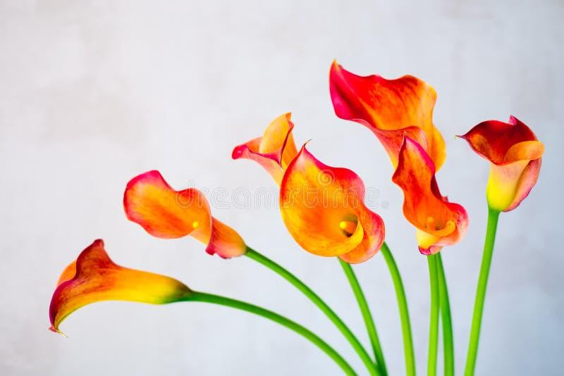Grupp av nya orange för Calla blommor lilly arkivbilder