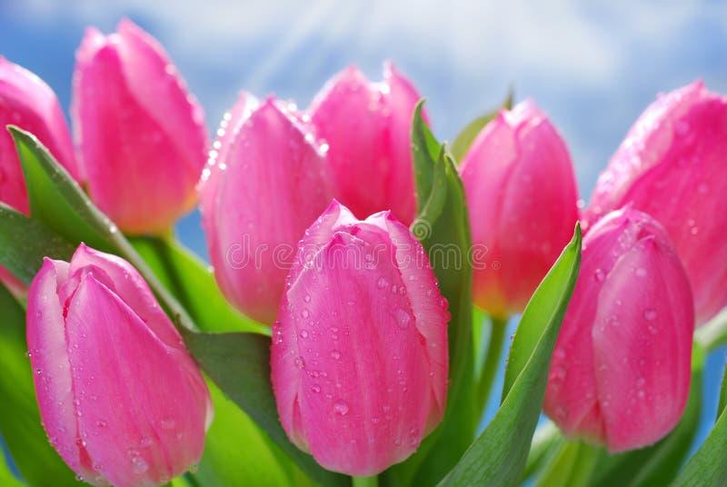 Grupp av nya rosa tulpan royaltyfria bilder