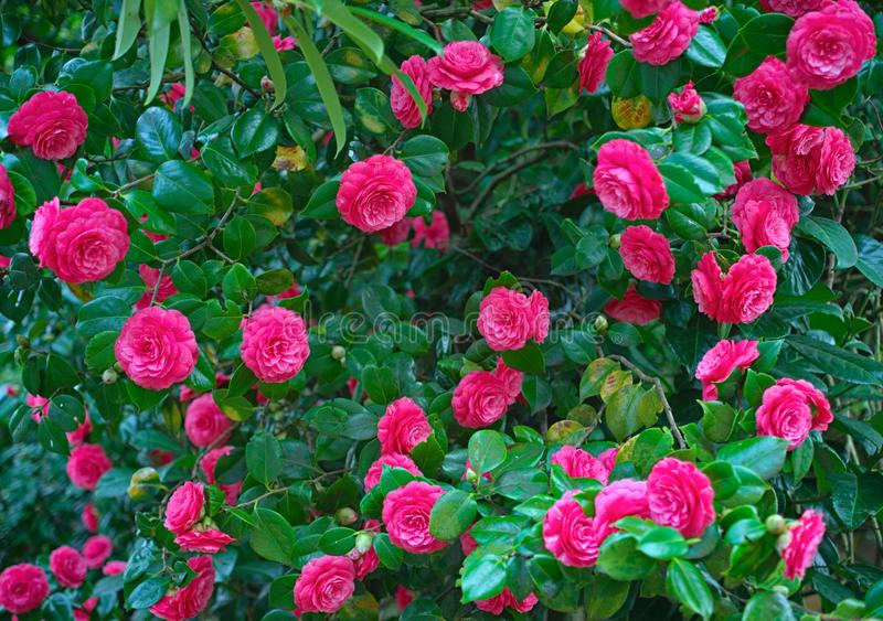 Grupp av oavkortad blom för rosa rosor arkivbild