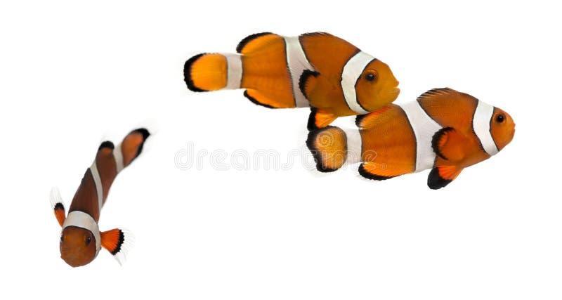 Grupp av Ocellaris clownfish, Amphiprionocellaris som isoleras royaltyfri foto