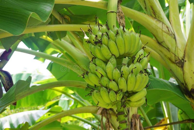 Grupp av omogna bananer fortfarande på bananträdet royaltyfri bild