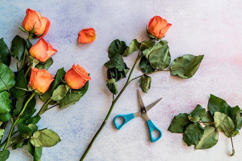Grupp av orange rosor som är klara för att klippa fotografering för bildbyråer