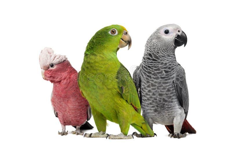 Grupp av papegojor royaltyfria foton