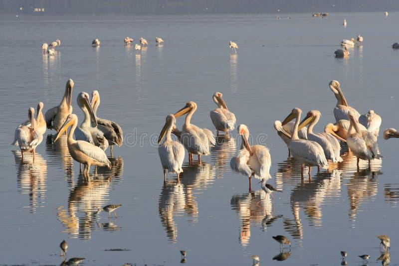 Grupp av pelikan, Pelecanus, på sjön Nakuru Fält av röda vallmo kenya _ royaltyfri foto