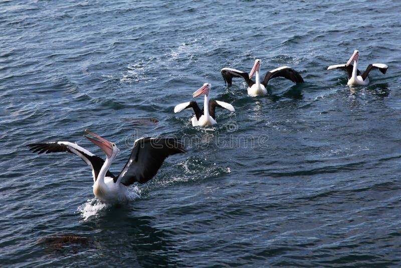 Grupp av pelikan som får som är klar att ta av arkivbilder