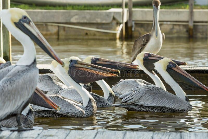 Grupp av pelikan som slåss för fisk på pir royaltyfri foto