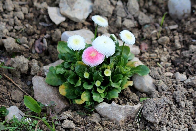 Grupp av perenna växter för gemensam tusensköna eller för Bellisperennis med ren vit som tänder - den rosa pomponen som blommor m arkivfoto