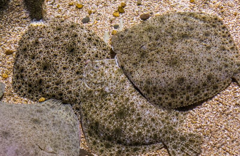 Grupp av piggvar som tillsammans lägger på botten, populär plattfisk, nära hotad djur specie arkivbilder