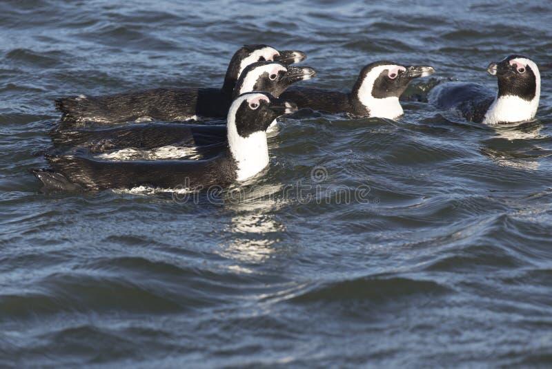Grupp av pingvinsimning royaltyfria bilder