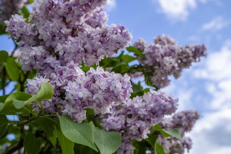 Grupp av purpurfärgade lilor royaltyfri fotografi