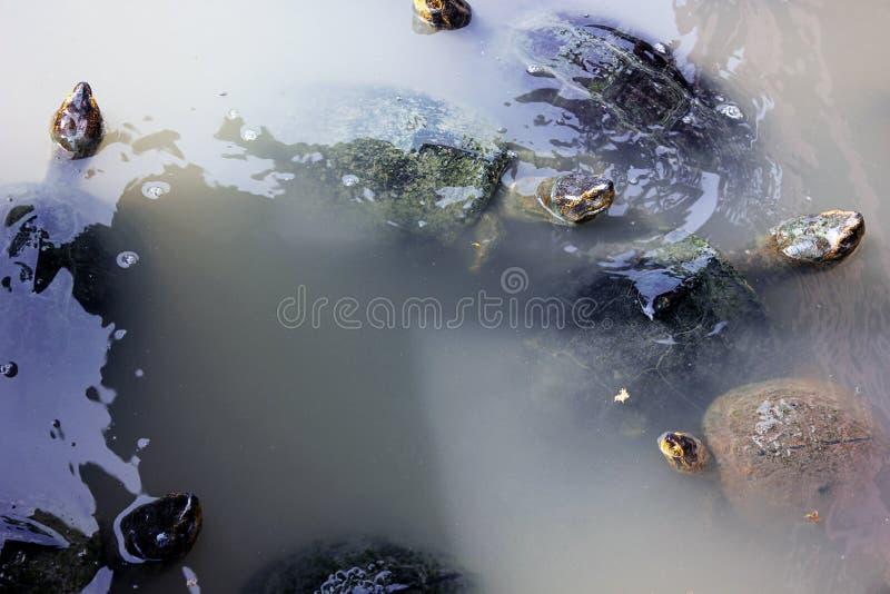 Grupp av R?d-g? i ax glidare eller s?tvattens- sk?ldpaddor som simmar i en sj? arkivbild
