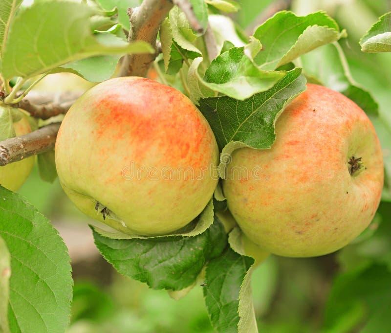 Grupp av röda äpplen royaltyfri bild