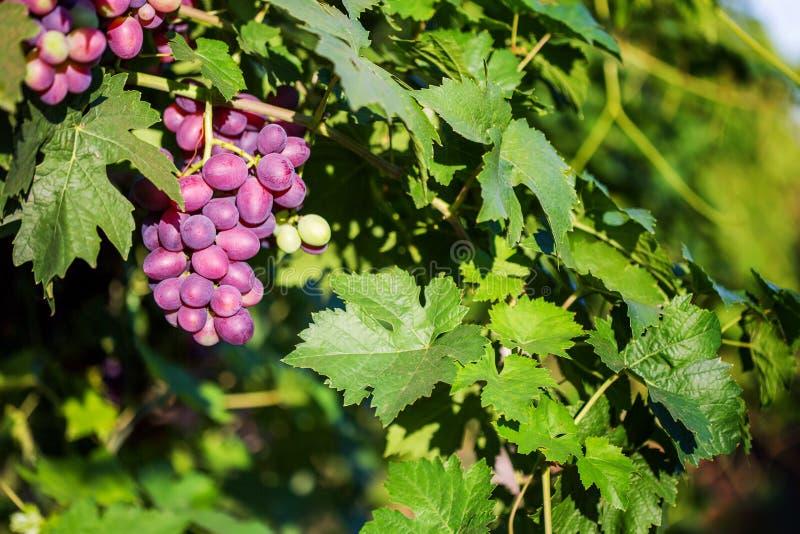Grupp av röda druvor på en vinranka i solskenet royaltyfria foton