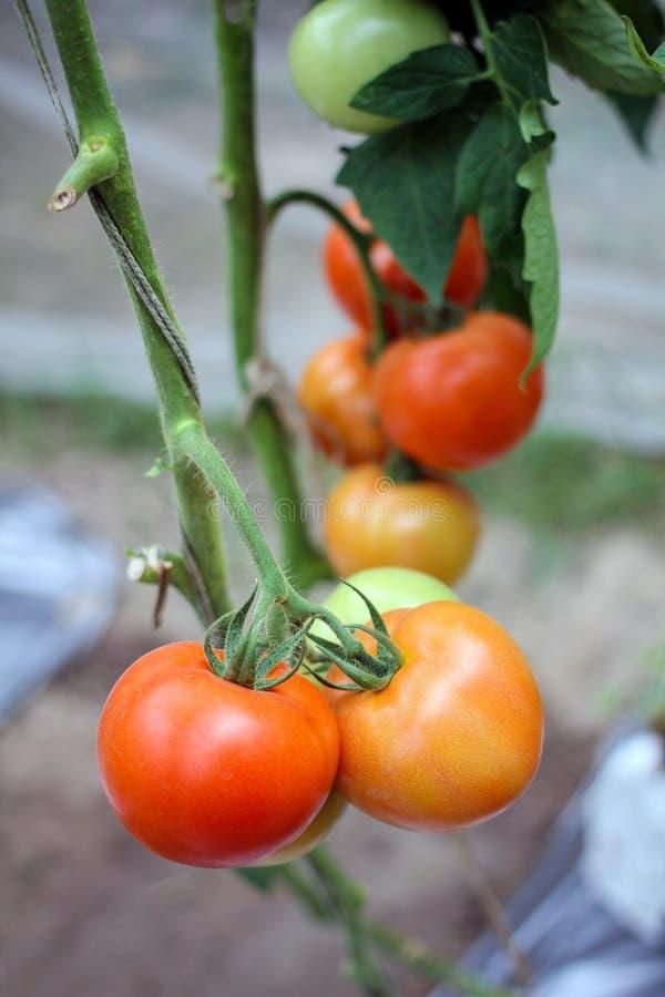 Grupp av röda och gröna tomater i en grönsakträdgård arkivbilder