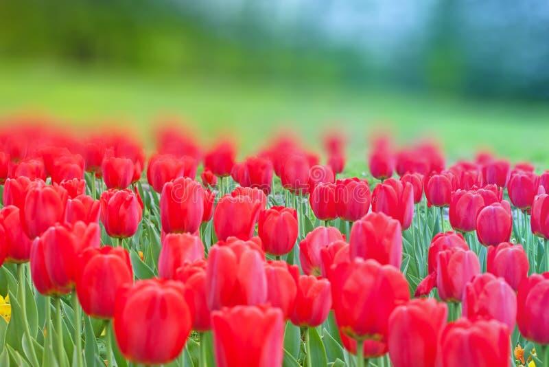 Grupp av röda tulpan i parkera royaltyfri foto