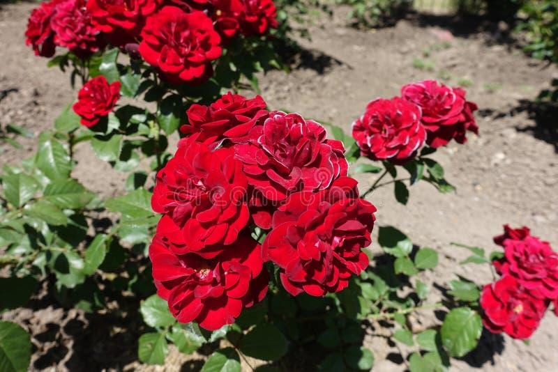 Grupp av r?da rosor i tr?dg?rden royaltyfria foton