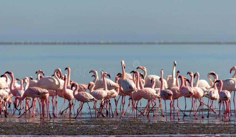 Grupp av rosa flamingo i den blåa lagun på en solig dag royaltyfria bilder