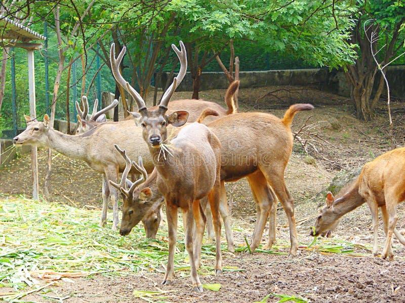 Grupp av Sambarhjortar som äter gräs royaltyfri bild