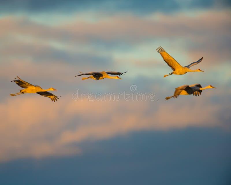 Grupp av sandhillkranar i flykten på skymningen/solnedgången 'för guld- timme ', innan att landa som ska roosts för natten under  royaltyfri bild