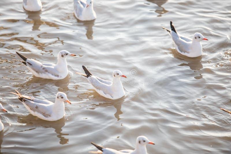 Grupp av Seagullfågelsimning på havet på smällbajset, Samutprakan, Thailand arkivfoton
