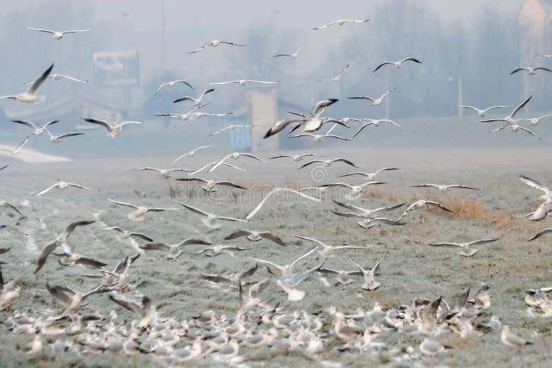 Grupp av seagulls på fält royaltyfria foton