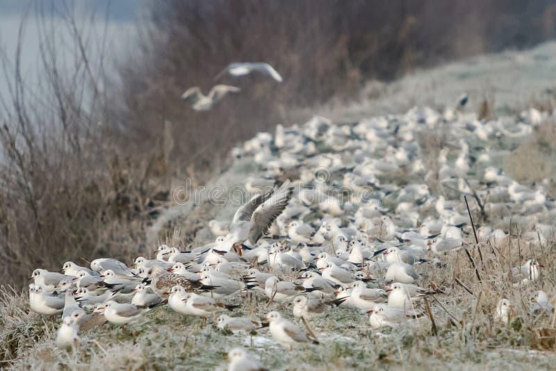 Grupp av seagulls på kust arkivbild