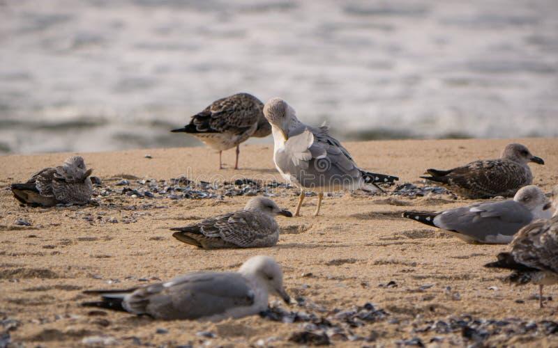 Grupp av seagulls/sillfiskmåsar som ligger på stranden och putsa royaltyfria foton