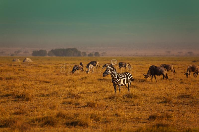 Grupp av sebraleken i reserven Kenya royaltyfri bild