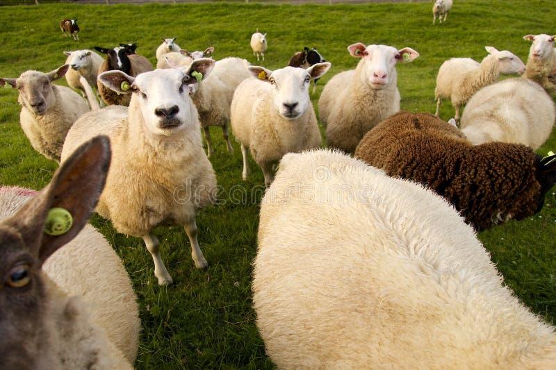 Grupp av sheeps arkivfoto