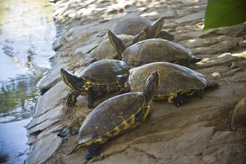 Grupp av sköldpaddor royaltyfria bilder