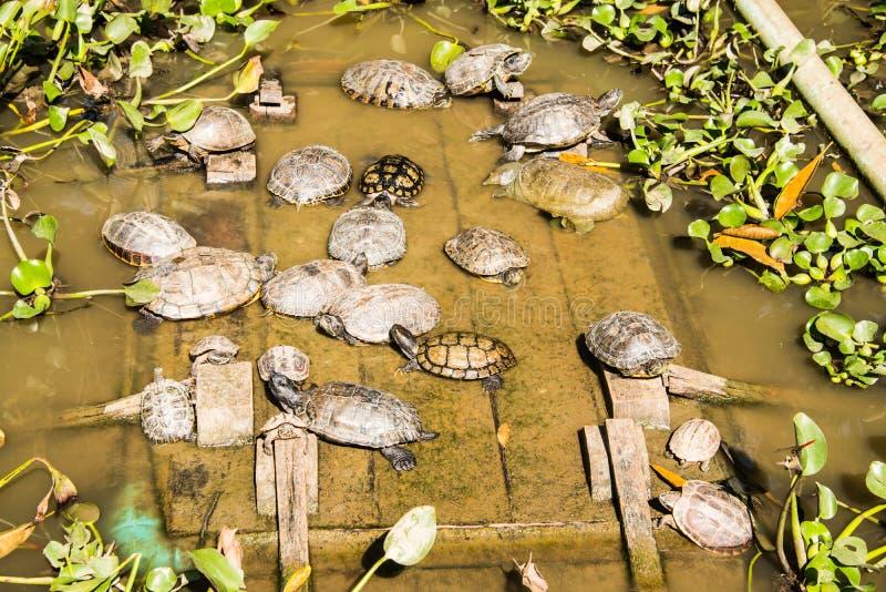 Grupp av sköldpaddor i dammet fotografering för bildbyråer
