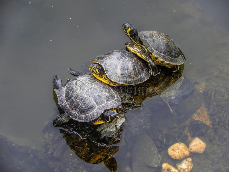 Grupp av sköldpaddor i ett damm royaltyfri bild